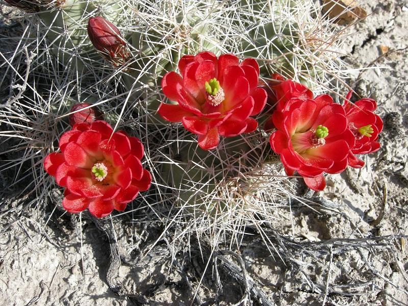 Flowers of the hedgehog cactus, Echinocereus coccineus. Near Mack, Mesa County, Colorado