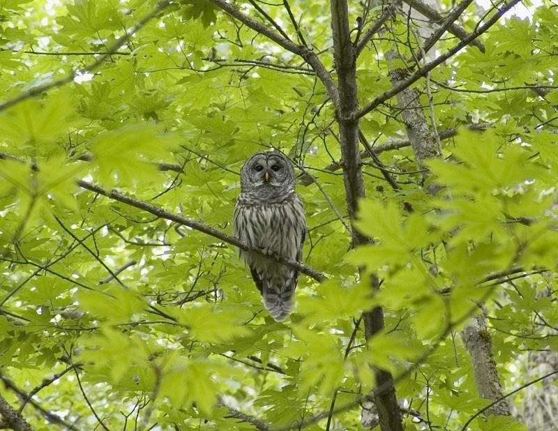 Barred owl (Strix varia), Bainbridge Island, Washington